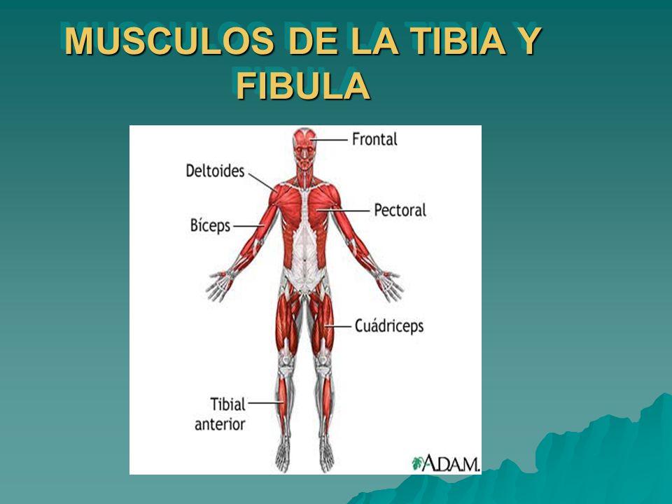 MUSCULOS DE LA TIBIA Y FIBULA