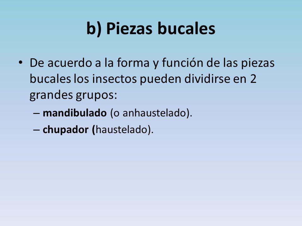 b) Piezas bucales De acuerdo a la forma y función de las piezas bucales los insectos pueden dividirse en 2 grandes grupos: