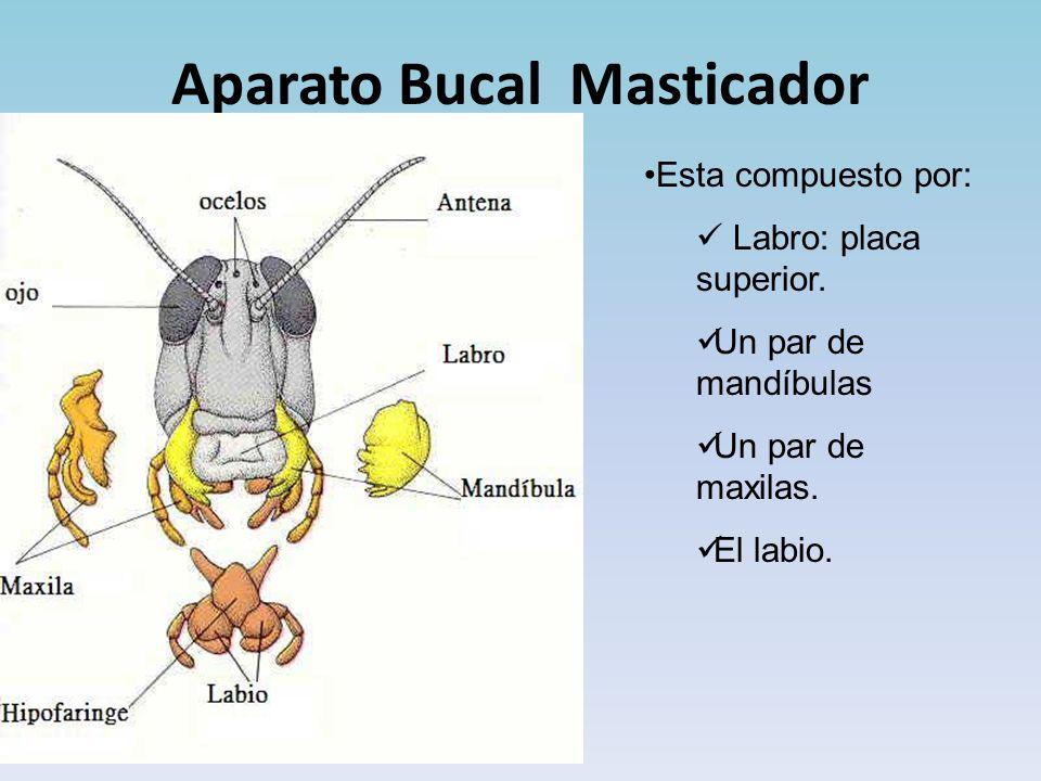 Aparato Bucal Masticador
