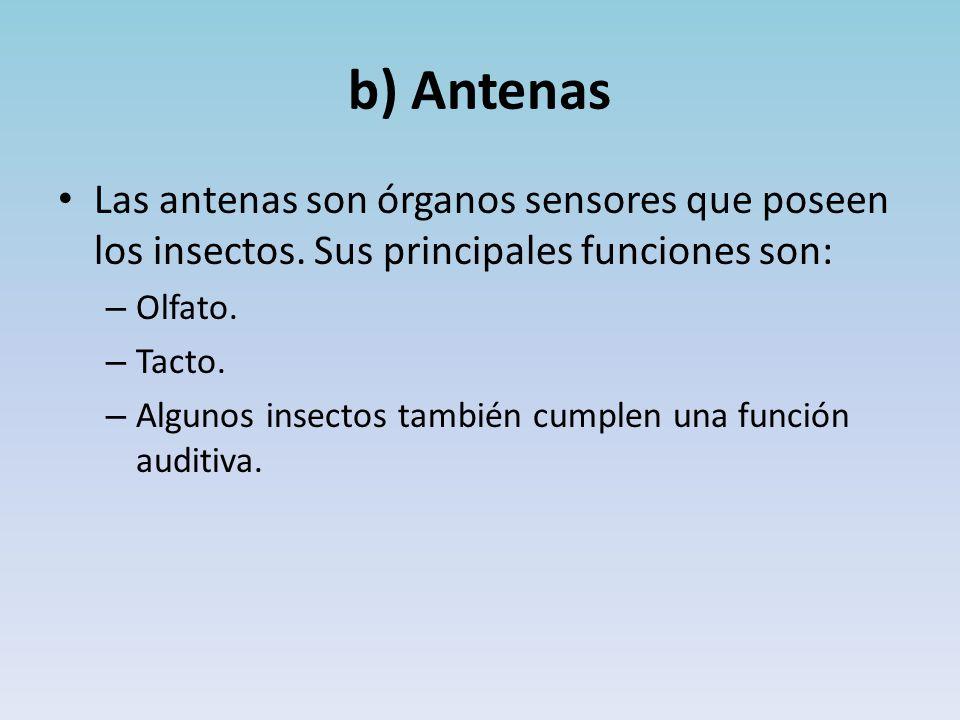 b) Antenas Las antenas son órganos sensores que poseen los insectos. Sus principales funciones son: