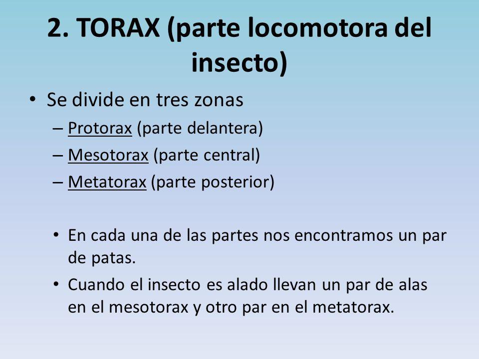 2. TORAX (parte locomotora del insecto)