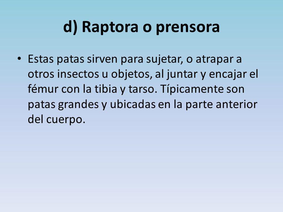 d) Raptora o prensora