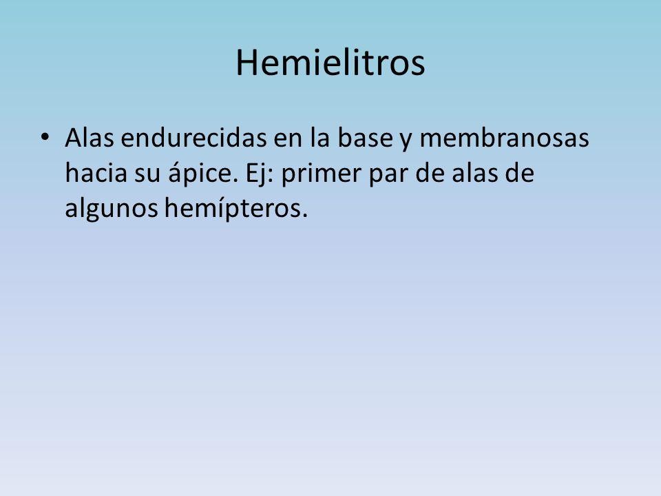 Hemielitros Alas endurecidas en la base y membranosas hacia su ápice.