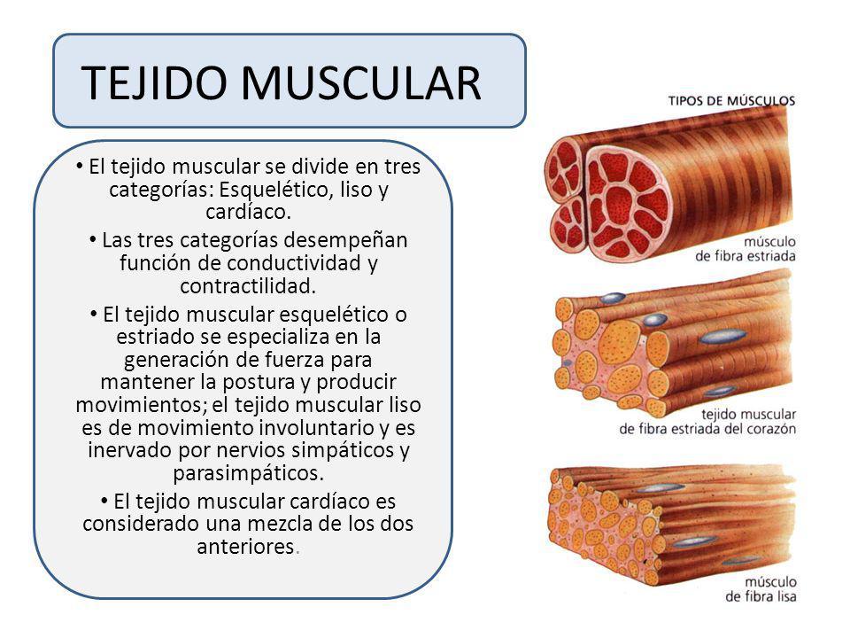 TEJIDO MUSCULAREl tejido muscular se divide en tres categorías: Esquelético, liso y cardíaco.