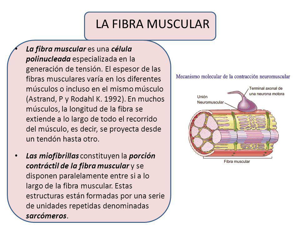 LA FIBRA MUSCULAR