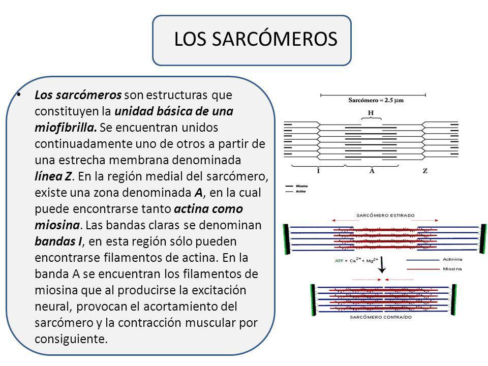 LOS SARCÓMEROS