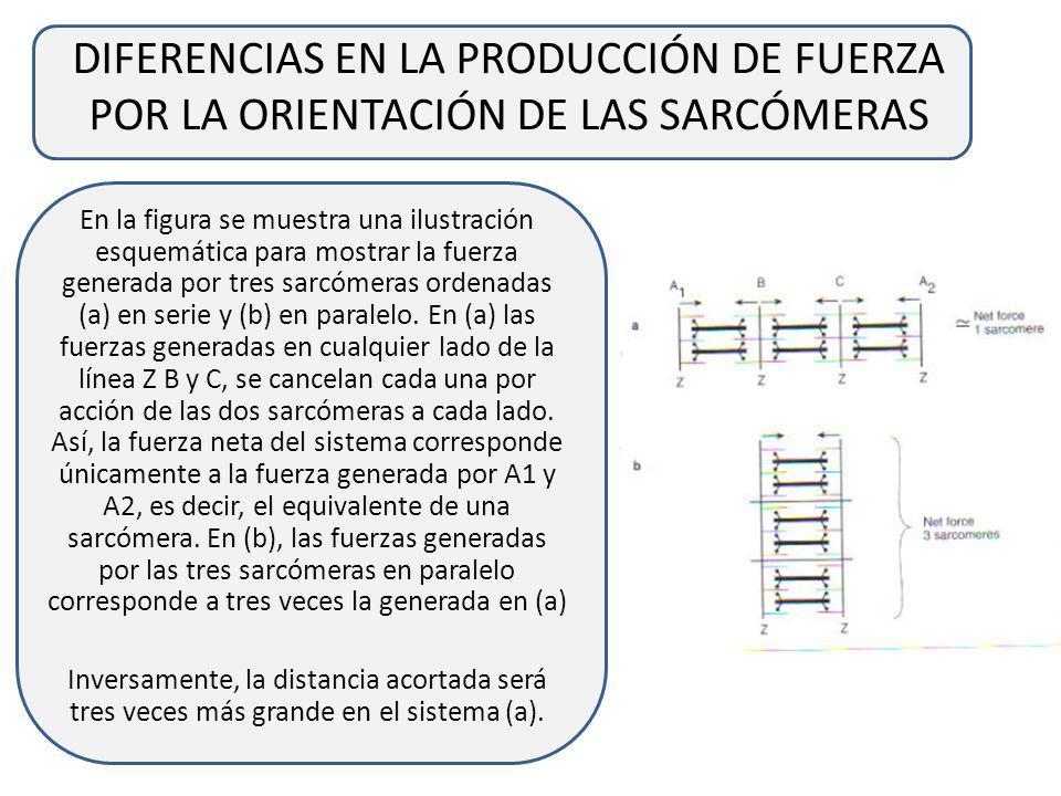 DIFERENCIAS EN LA PRODUCCIÓN DE FUERZA POR LA ORIENTACIÓN DE LAS SARCÓMERAS