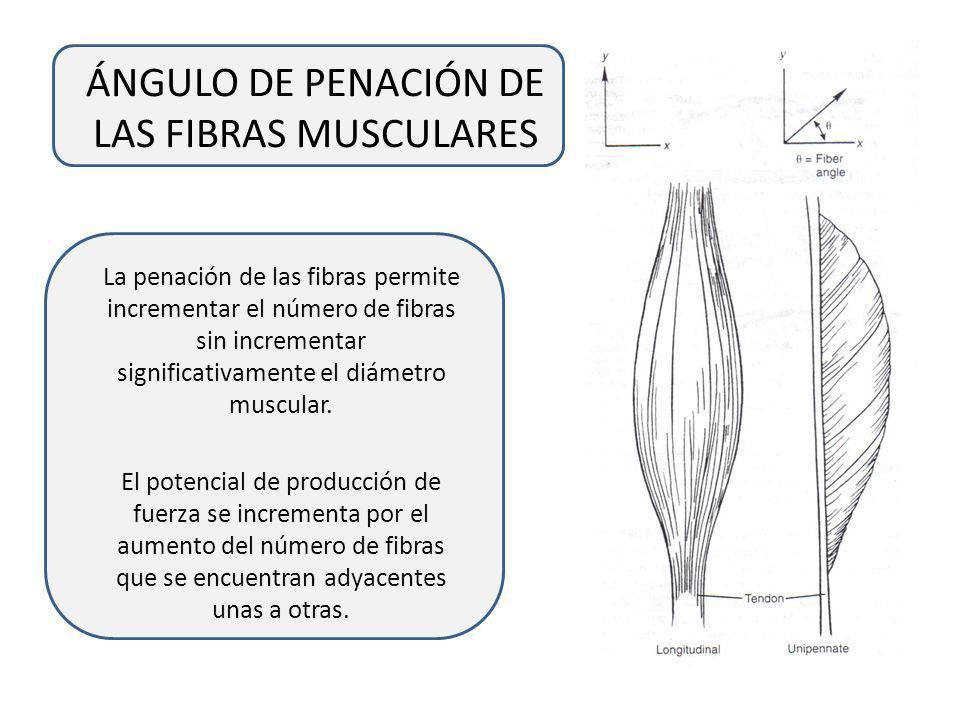 ÁNGULO DE PENACIÓN DE LAS FIBRAS MUSCULARES