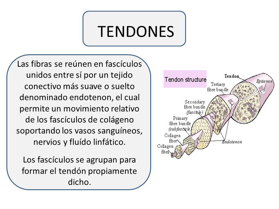 Los fascículos se agrupan para formar el tendón propiamente dicho.