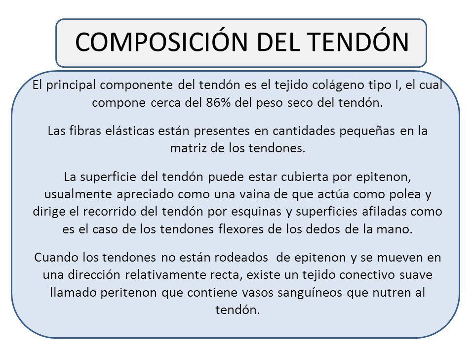COMPOSICIÓN DEL TENDÓN