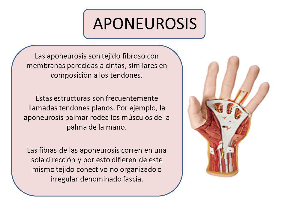APONEUROSISLas aponeurosis son tejido fibroso con membranas parecidas a cintas, similares en composición a los tendones.