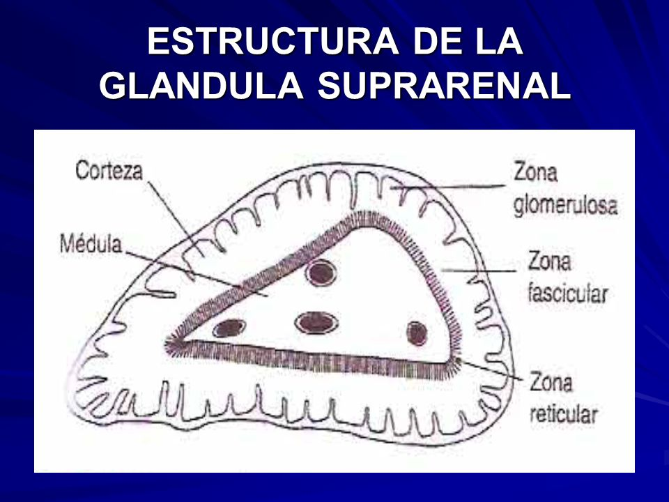 ESTRUCTURA DE LA GLANDULA SUPRARENAL