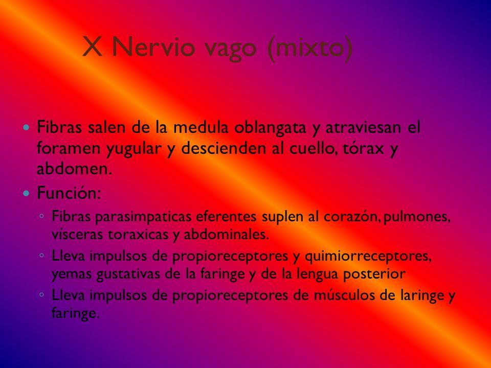 X Nervio vago (mixto) Fibras salen de la medula oblangata y atraviesan el foramen yugular y descienden al cuello, tórax y abdomen.