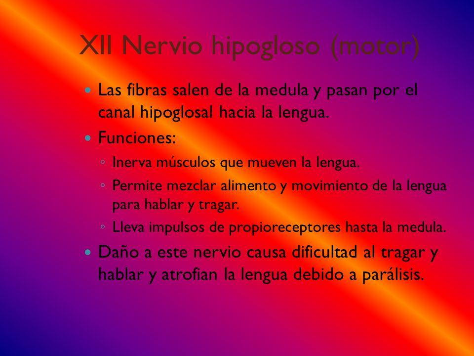 XII Nervio hipogloso (motor)