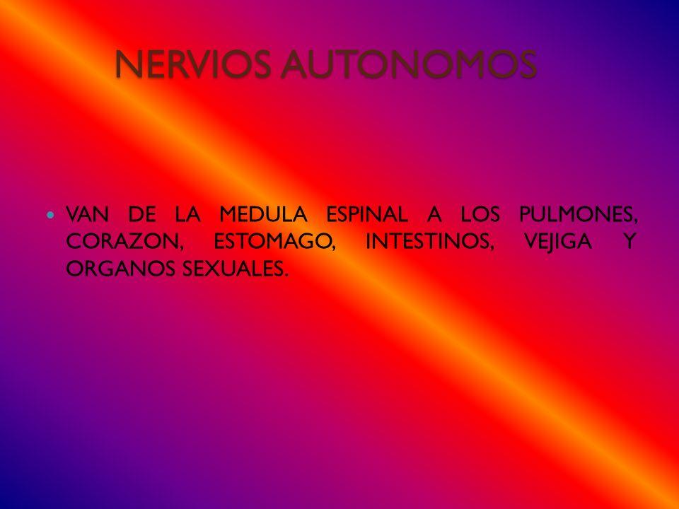 NERVIOS AUTONOMOS VAN DE LA MEDULA ESPINAL A LOS PULMONES, CORAZON, ESTOMAGO, INTESTINOS, VEJIGA Y ORGANOS SEXUALES.