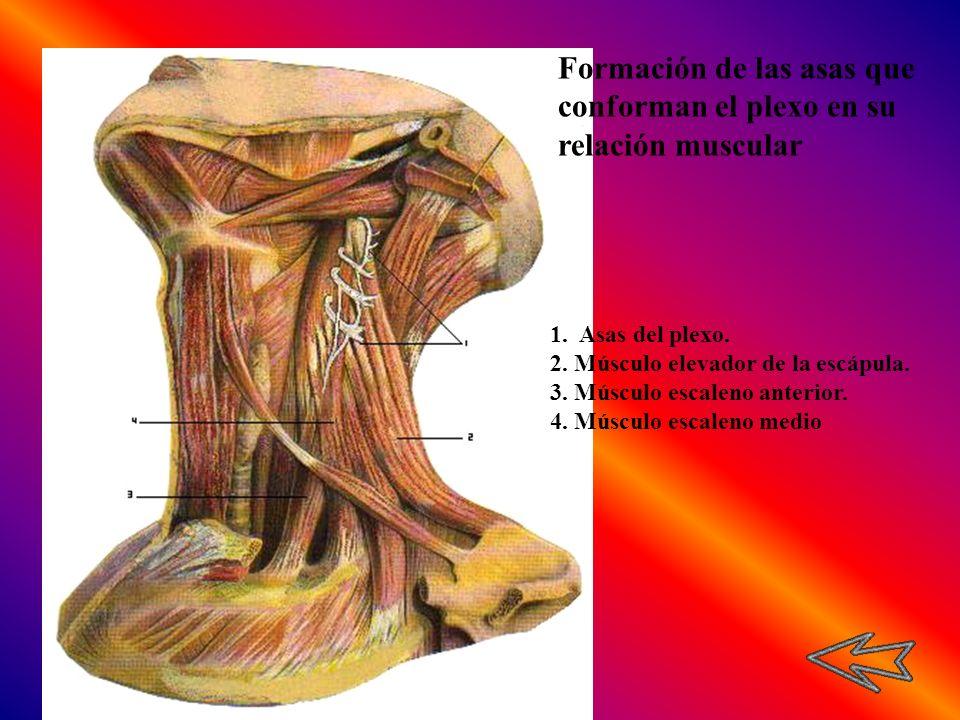 Formación de las asas que conforman el plexo en su relación muscular