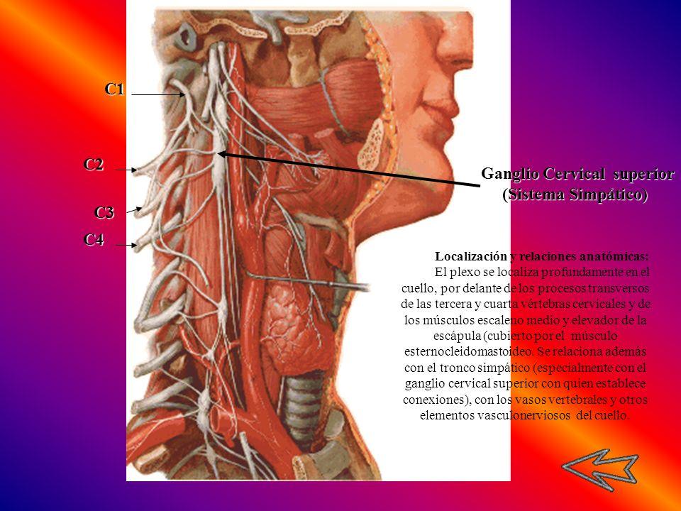 Localización y relaciones anatómicas: