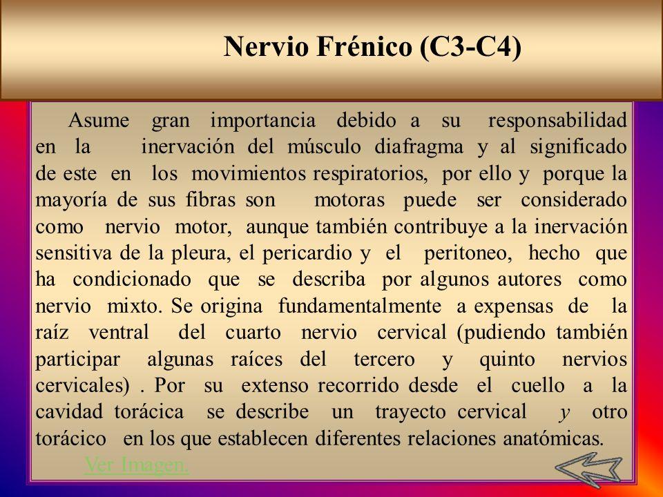 Nervio Frénico (C3-C4)