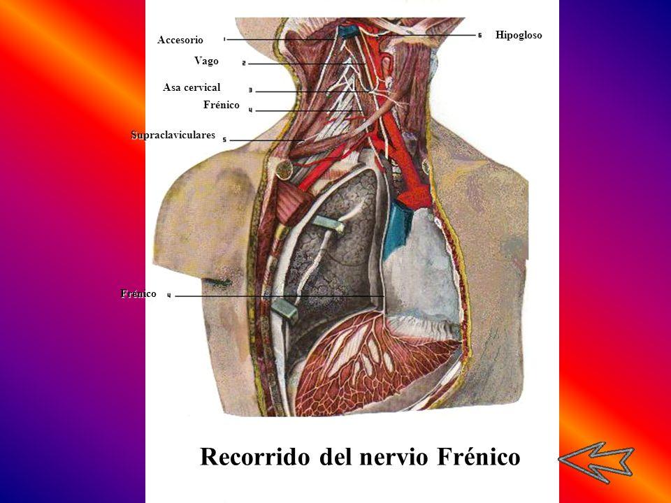 Recorrido del nervio Frénico
