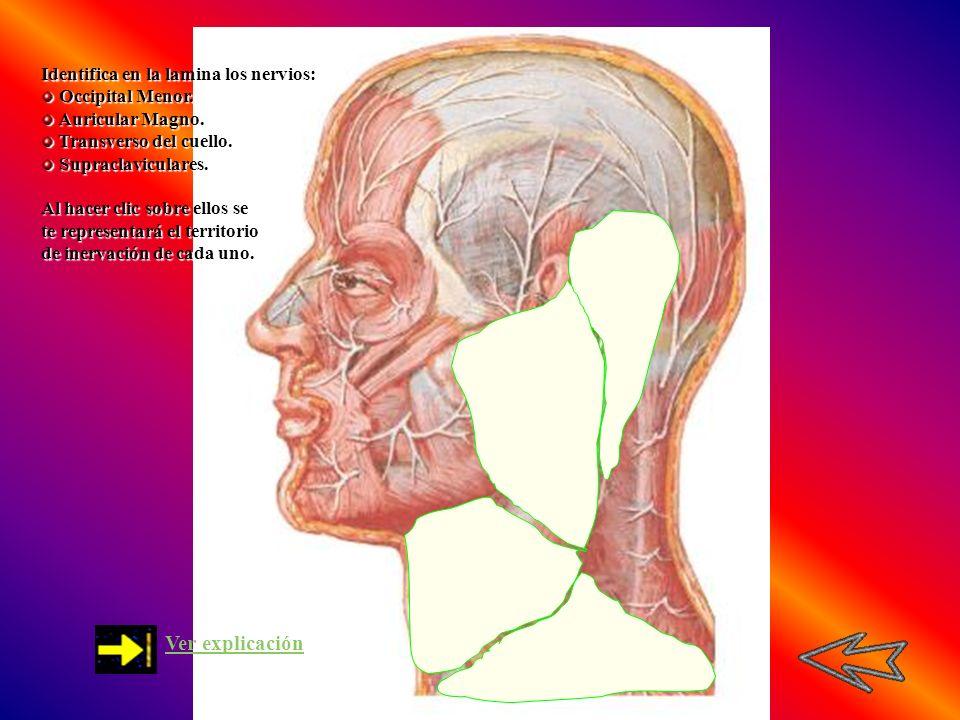 Ver explicación Identifica en la lamina los nervios: Occipital Menor.