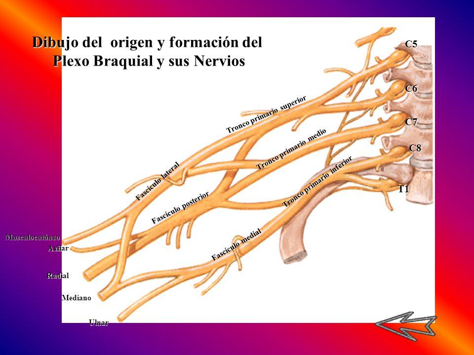 Dibujo del origen y formación del Plexo Braquial y sus Nervios