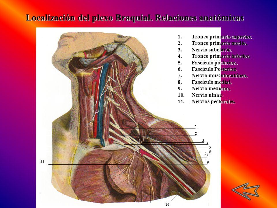 Localización del plexo Braquial. Relaciones anatómicas