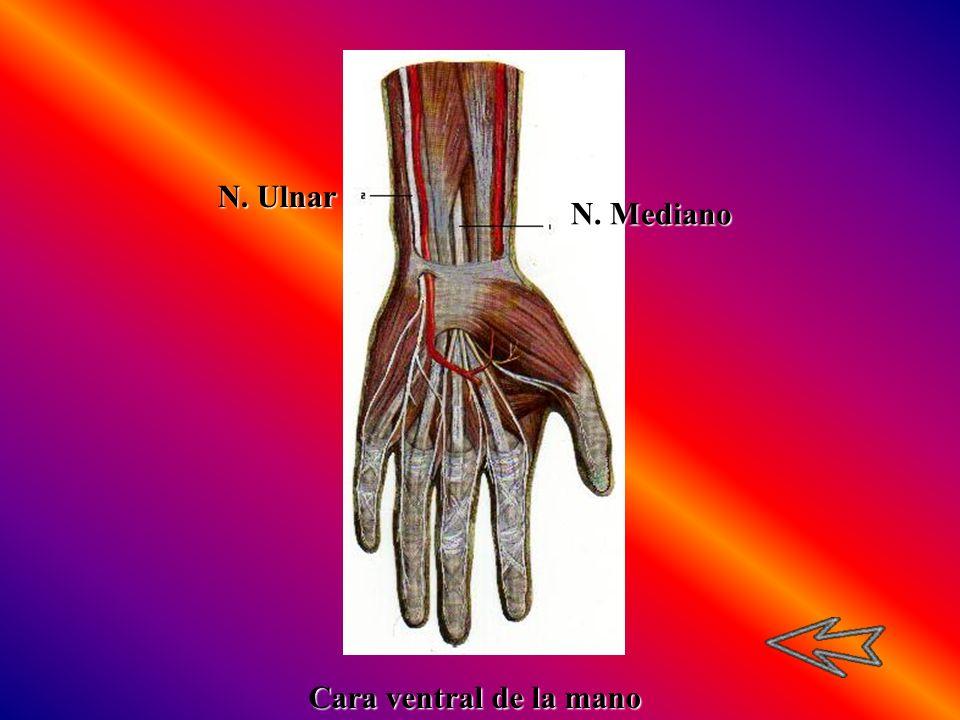 N. Ulnar N. Mediano Cara ventral de la mano