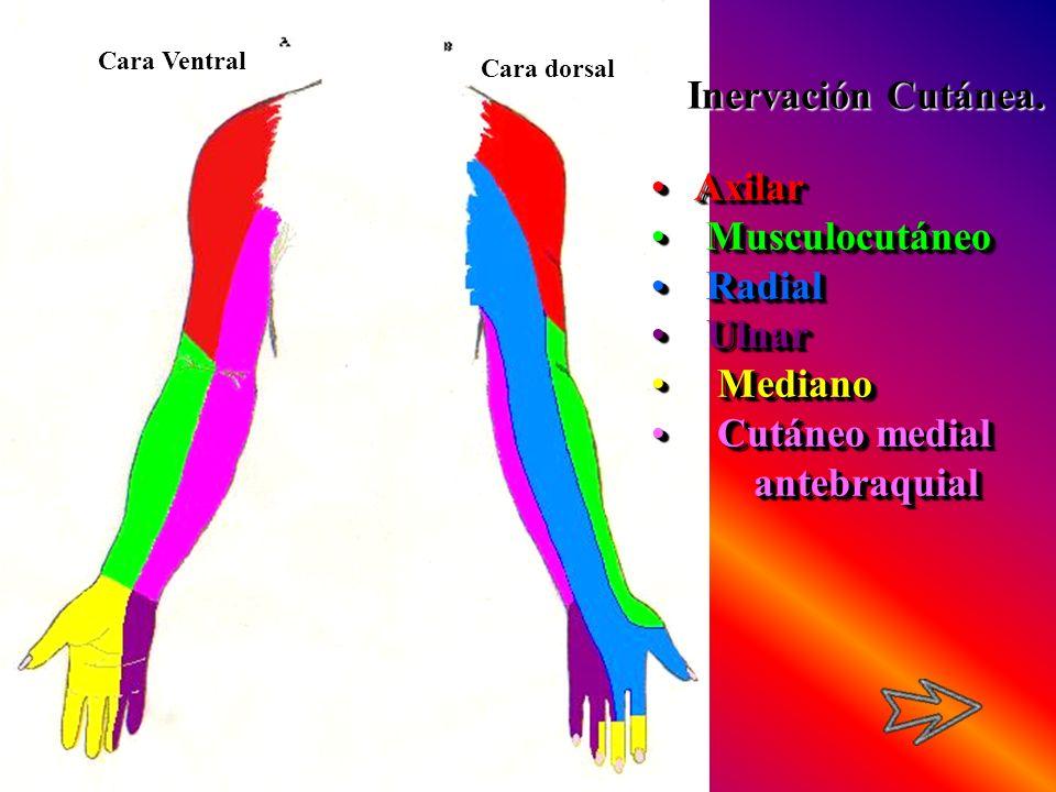 Inervación Cutánea. Axilar Musculocutáneo Radial Ulnar Mediano