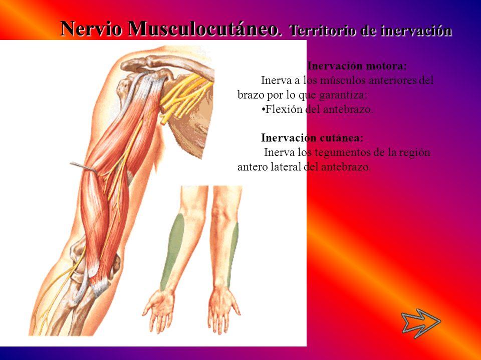 Nervio Musculocutáneo. Territorio de inervación