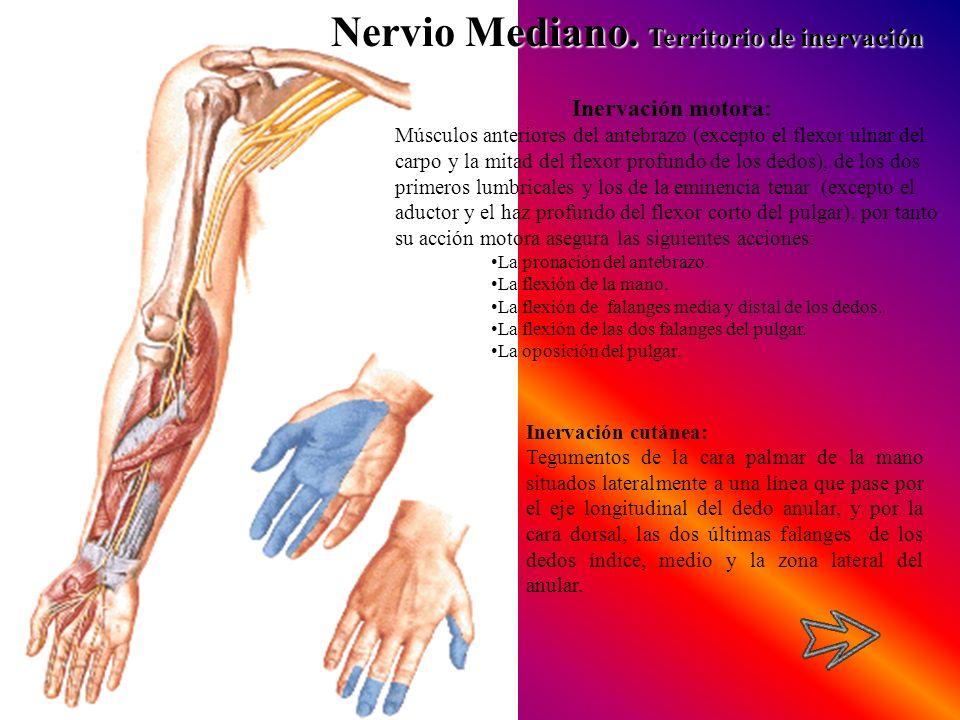 Nervio Mediano. Territorio de inervación