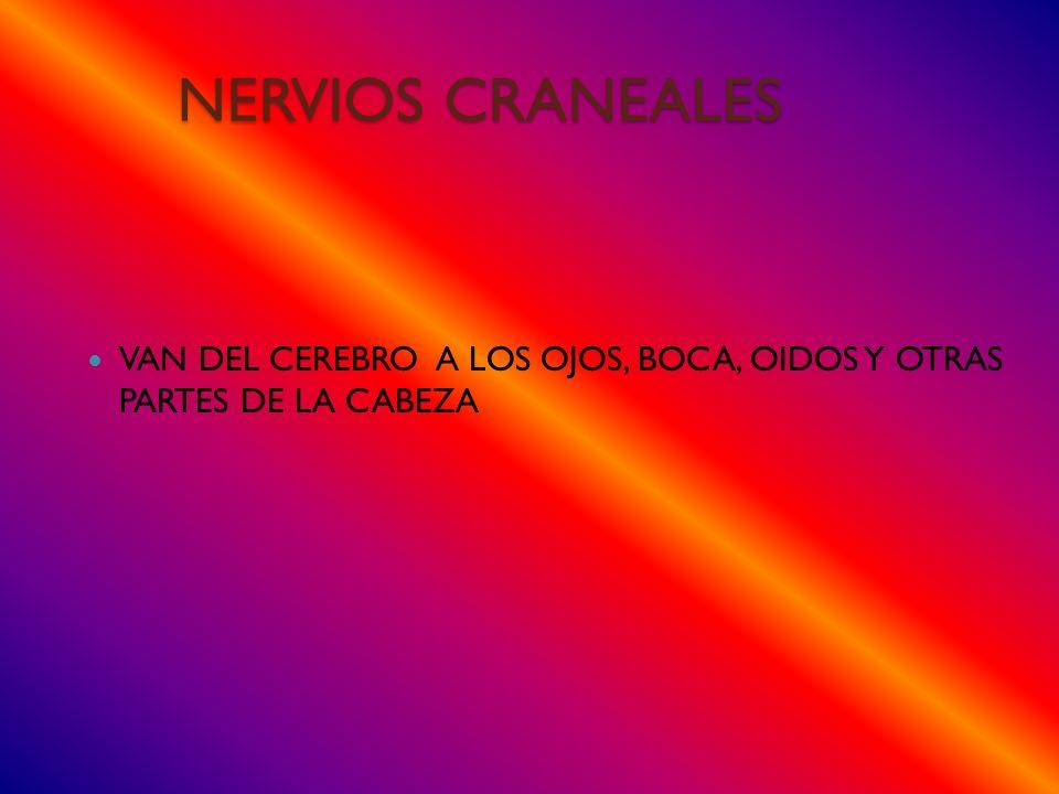 NERVIOS CRANEALES VAN DEL CEREBRO A LOS OJOS, BOCA, OIDOS Y OTRAS PARTES DE LA CABEZA