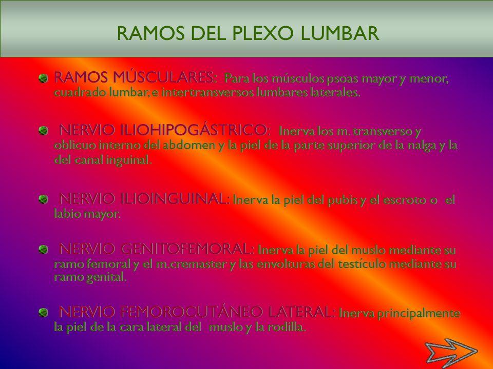 RAMOS DEL PLEXO LUMBAR RAMOS MÚSCULARES: Para los músculos psoas mayor y menor, cuadrado lumbar, e intertransversos lumbares laterales.