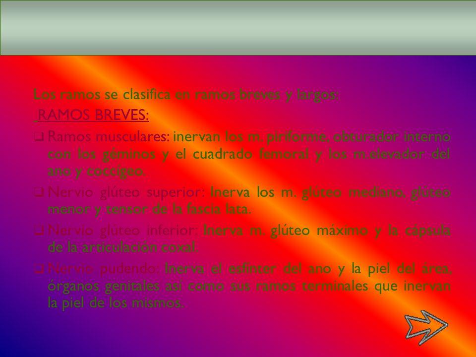 RAMOS DEL PLEXO SACRO Los ramos se clasifica en ramos breves y largos: