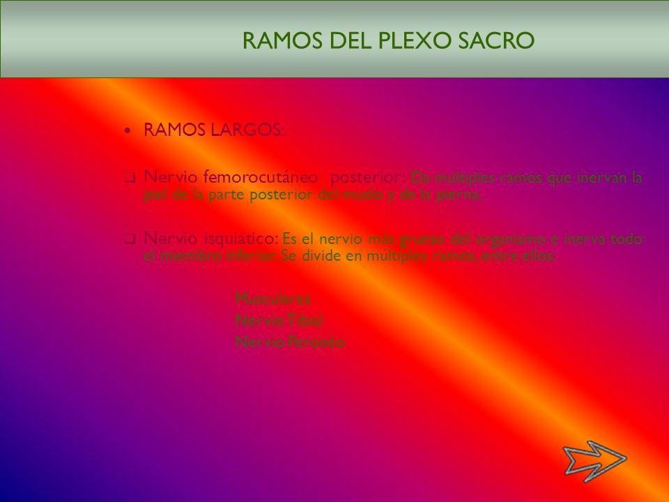 RAMOS DEL PLEXO SACRO RAMOS LARGOS:
