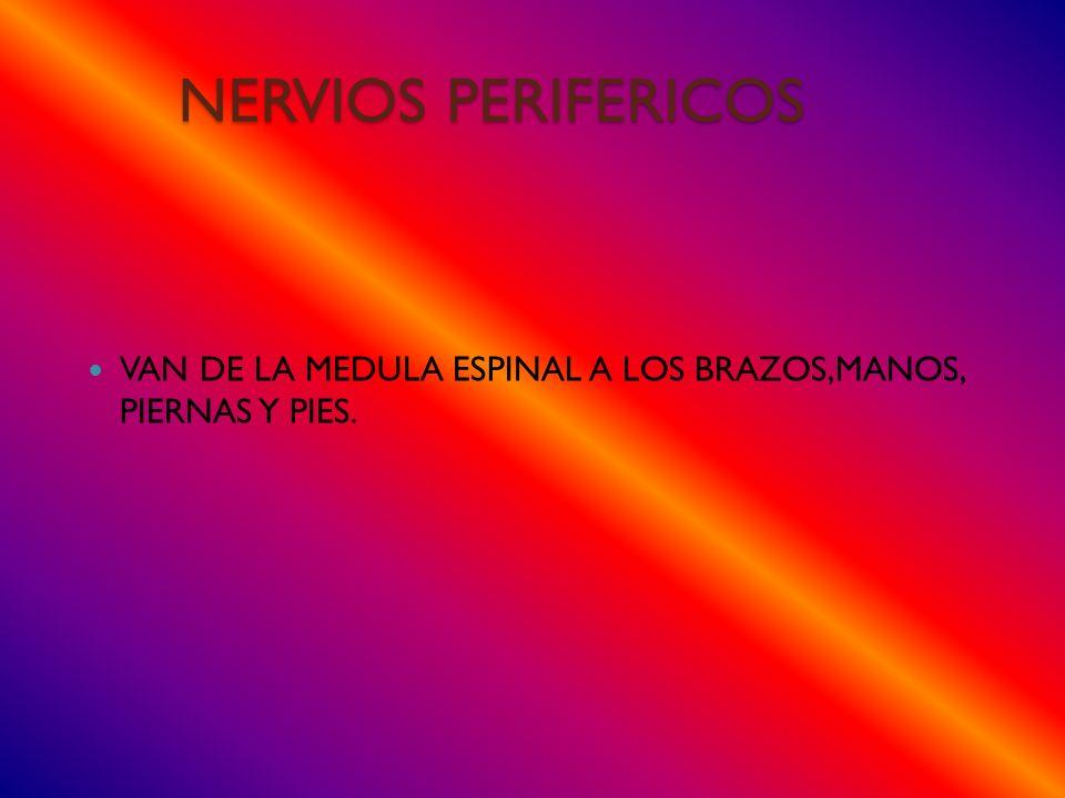 NERVIOS PERIFERICOS VAN DE LA MEDULA ESPINAL A LOS BRAZOS,MANOS, PIERNAS Y PIES.