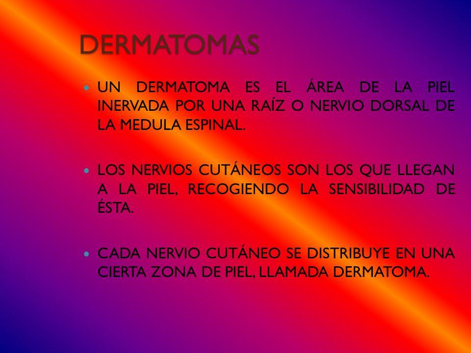 DERMATOMAS Un dermatoma es el área de la piel inervada por una raíz o nervio dorsal de la MEDULA ESPINAL.