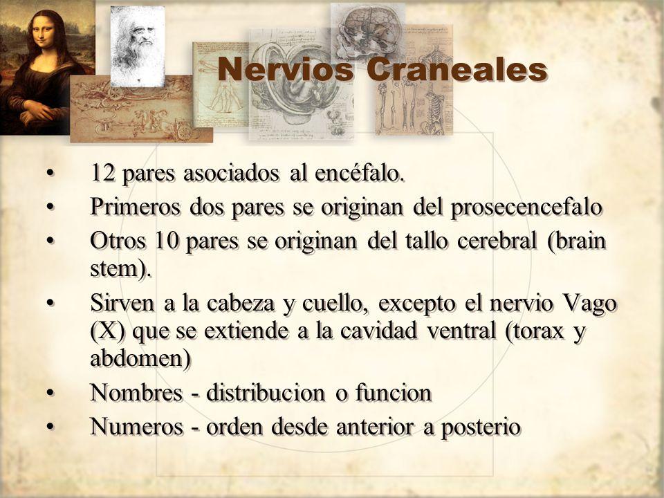 Nervios Craneales 12 pares asociados al encéfalo.