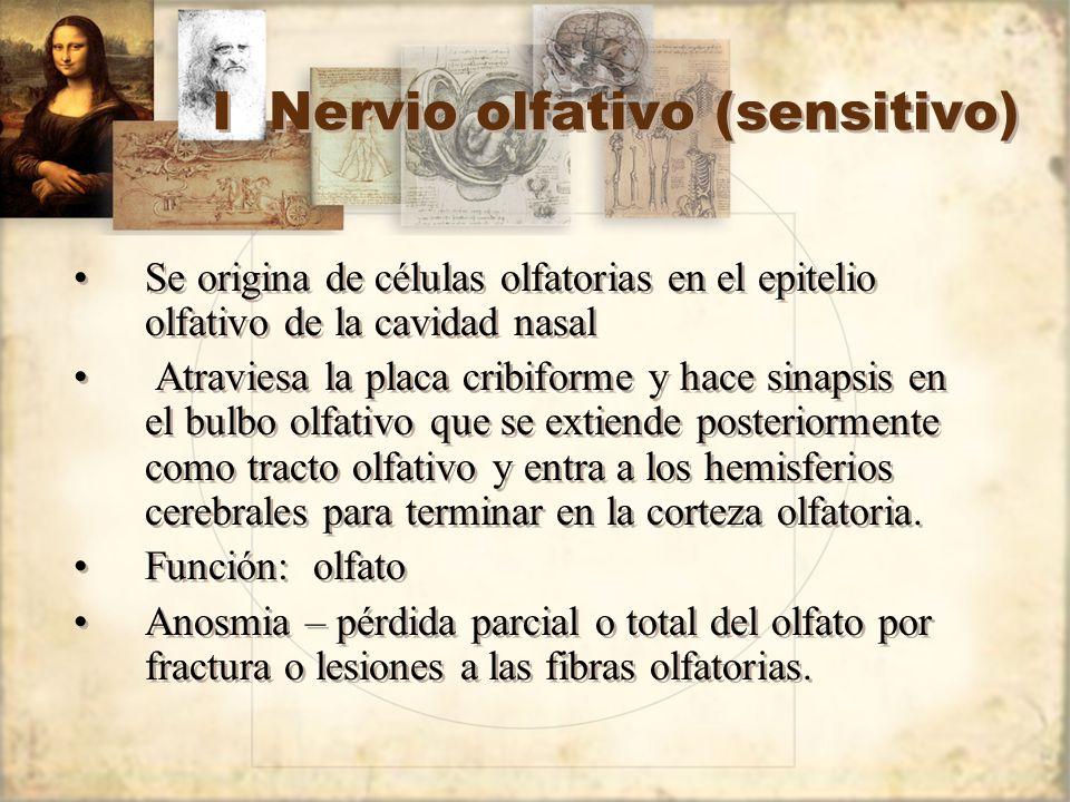 I Nervio olfativo (sensitivo)