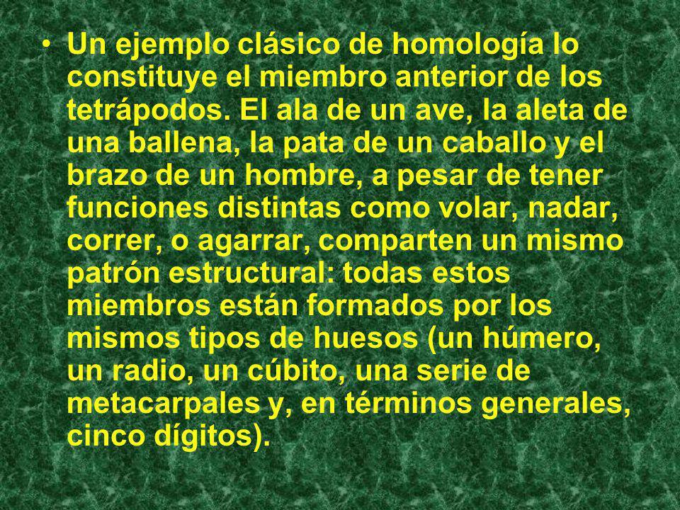 Un ejemplo clásico de homología lo constituye el miembro anterior de los tetrápodos.