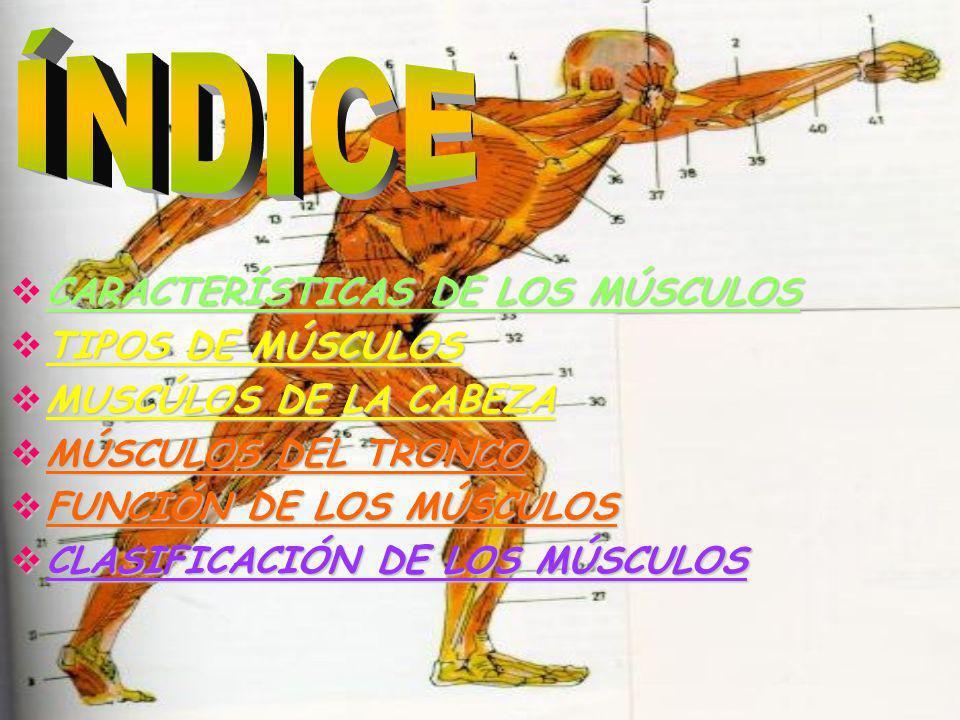 ÍNDICE CARACTERÍSTICAS DE LOS MÚSCULOS TIPOS DE MÚSCULOS