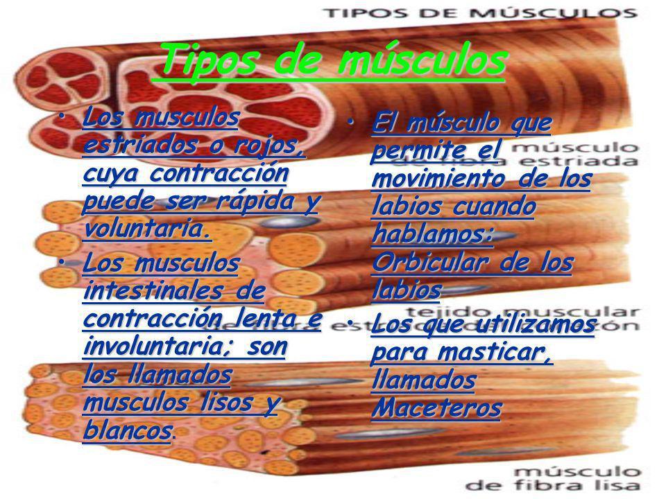 Tipos de músculos Los musculos estriados o rojos, cuya contracción puede ser rápida y voluntaria.