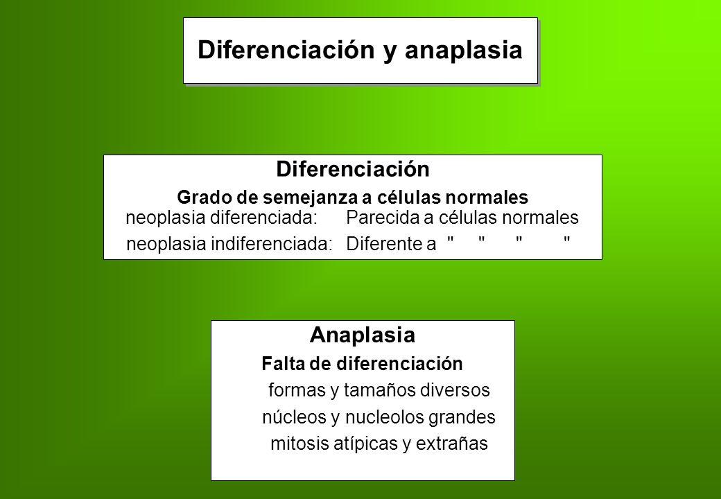 Diferenciación y anaplasia Falta de diferenciación