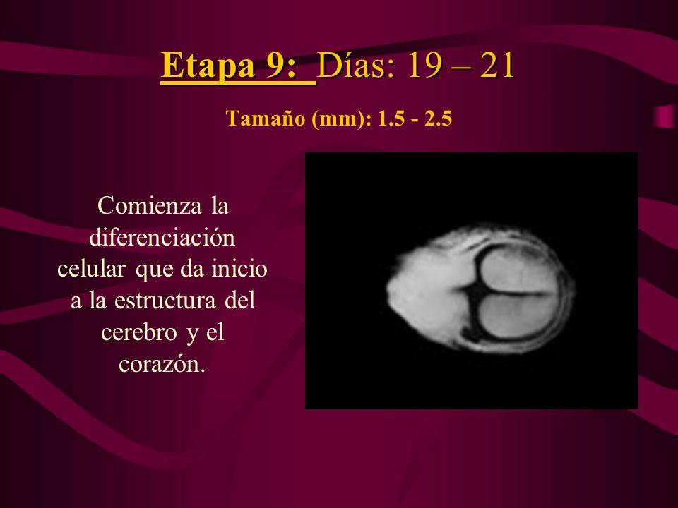 Etapa 9: Días: 19 – 21 Tamaño (mm): 1.5 - 2.5