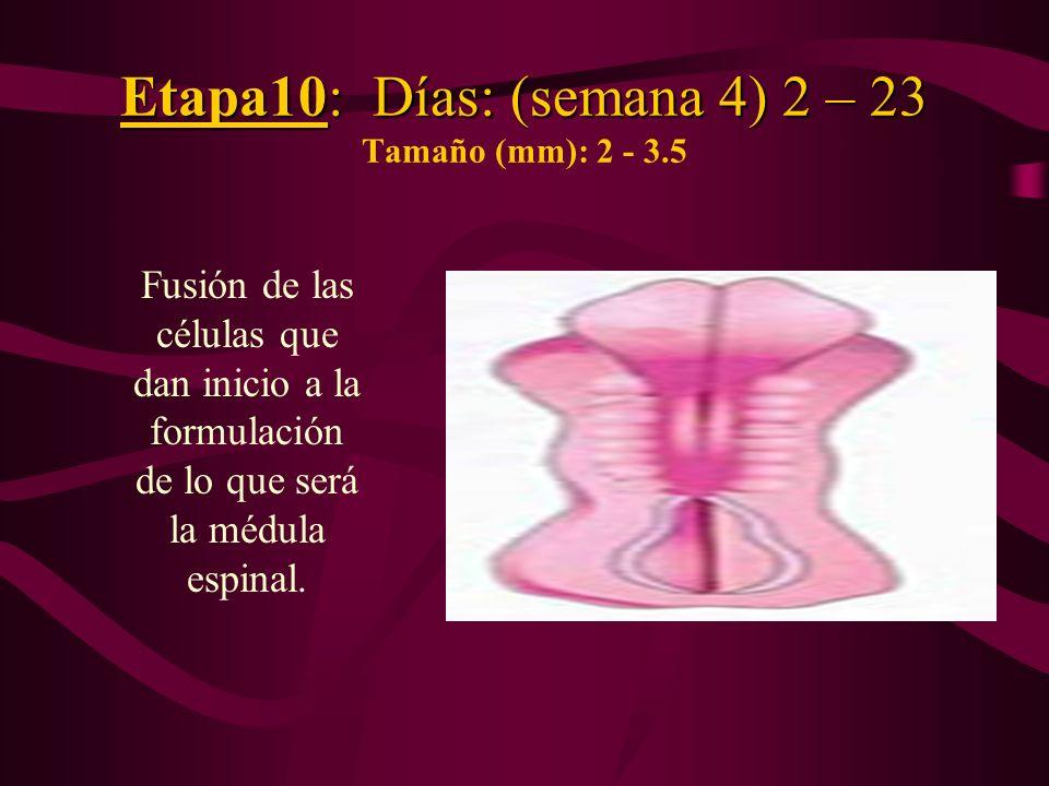 Etapa10: Días: (semana 4) 2 – 23 Tamaño (mm): 2 - 3.5
