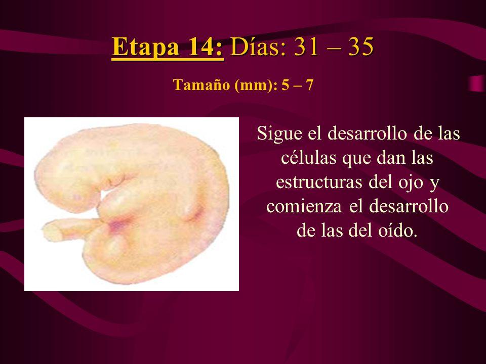 Etapa 14: Días: 31 – 35 Tamaño (mm): 5 – 7