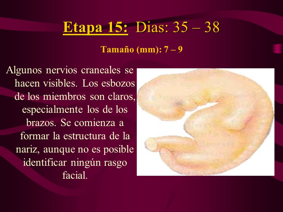 Etapa 15: Dias: 35 – 38 Tamaño (mm): 7 – 9