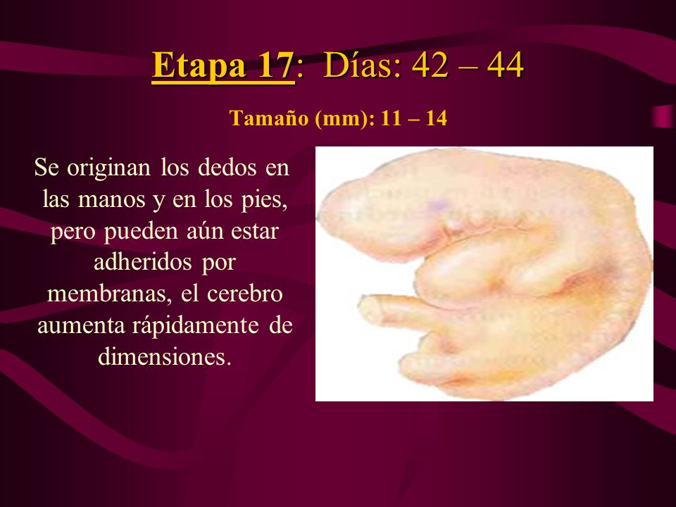 Etapa 17: Días: 42 – 44 Tamaño (mm): 11 – 14