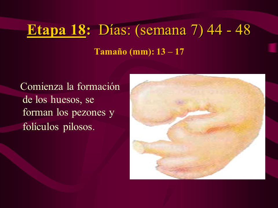 Etapa 18: Días: (semana 7) 44 - 48 Tamaño (mm): 13 – 17