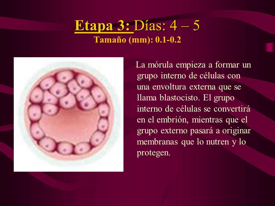 Etapa 3: Días: 4 – 5 Tamaño (mm): 0.1-0.2