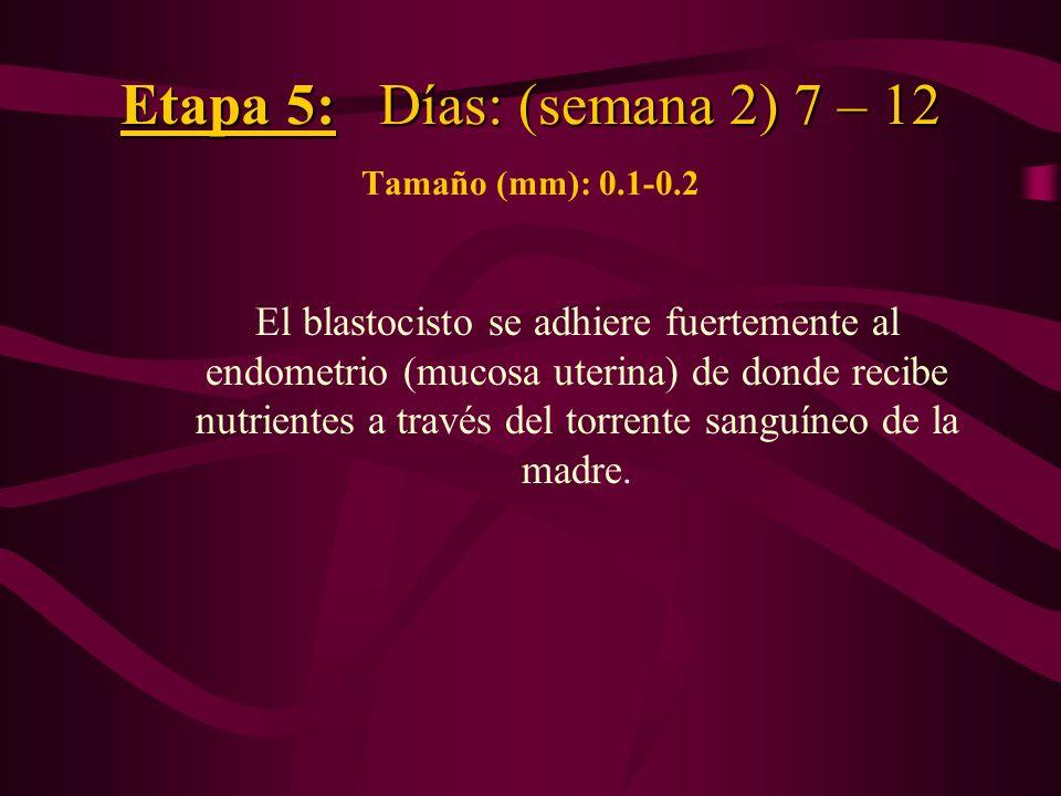 Etapa 5: Días: (semana 2) 7 – 12 Tamaño (mm): 0.1-0.2